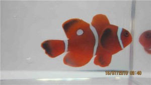 PNG Maroon Clownfish with Spots