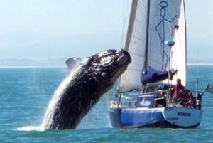 Whale Breaching Near Yacht