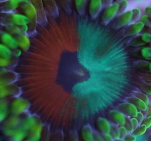 Eagle Eye Zoas Mixed with Dragon Eyes