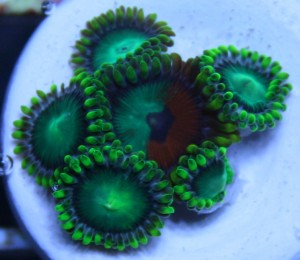 Eagle Eye Zoa Mixed with Dragon Eyes