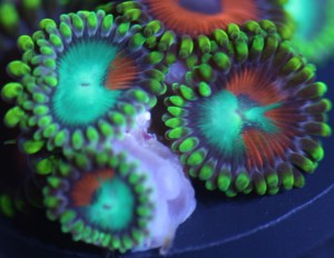 Two Face Zoanthids Morphs