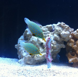 Harlequin Filefish Eating Instand Ocean Gel Food