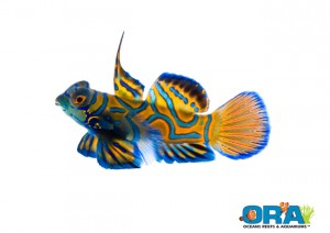 ORA Blue Mandarin