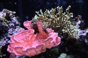 Orange Montipora Capricornis Growing Under Metal Halides