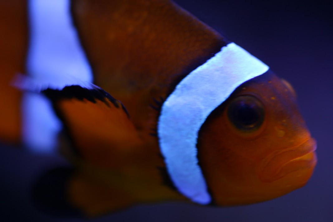 Up Close Shot of Ocellaris Clownfish