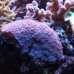 Blue Anthelia Snowflake Polyps