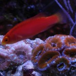 Flame Wrasse Over Acan Lord