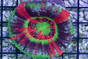 Spirograph Scolymia