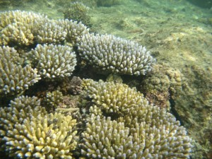 Acropora Colonies While Diving at Kwajalein