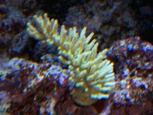 Acropora LED Coral Growth Before