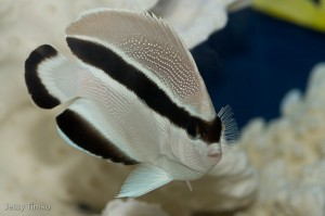 Bandit Angelfish (Holacanthus arcuatus)