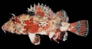 Indo Pacific Scorpionfish