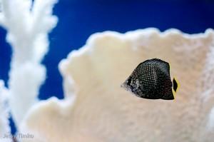 Juvenile Wrought Iron Butterfly (Chaetodon daedalma)