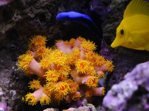 Sun Coral in Mixed Reef Aquarium