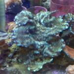 Tridacna Squamosa Clam