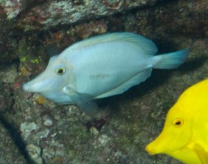 All White Yellow Tang