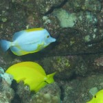 All White Zebrasoma flavescens