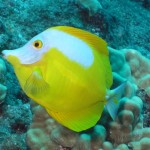 Yellow Tang with White Patches