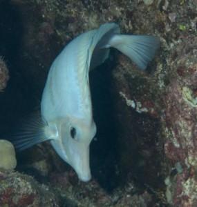 White Zebrasoma flavescens