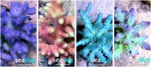 Corals From SeaSlug