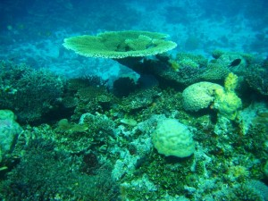 Wild Coral Colonies in the Pacific