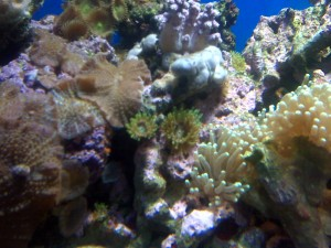 Green Majano Anemone in Reef Tank