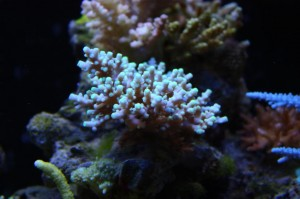 Neon Green Tipped Acropora