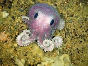New Foundland Deep Sea Octopus
