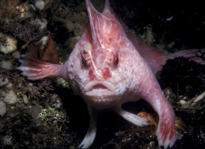 New Pink Handfish Species