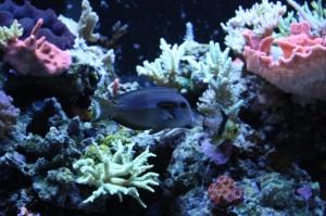 Orange Shoulder Tang in SPS Aquarium