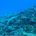 Reef Shark Picture