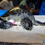 ORA Sea Turtle Rescue