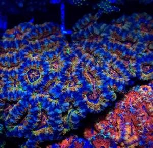 Pro Corals Cigar Galaxy Acan