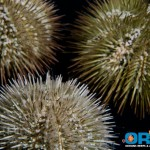 ORA Variegated Sea Urchin Group