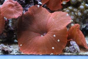 Red Mushroom and Asterina Starfish