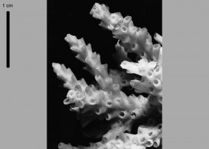 Acropora plana skeletal image