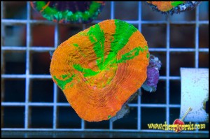 Agent Orange Scolymia from Cherry Corals