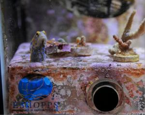 Blue Spot Jawfish in Eshopps Frag Rack