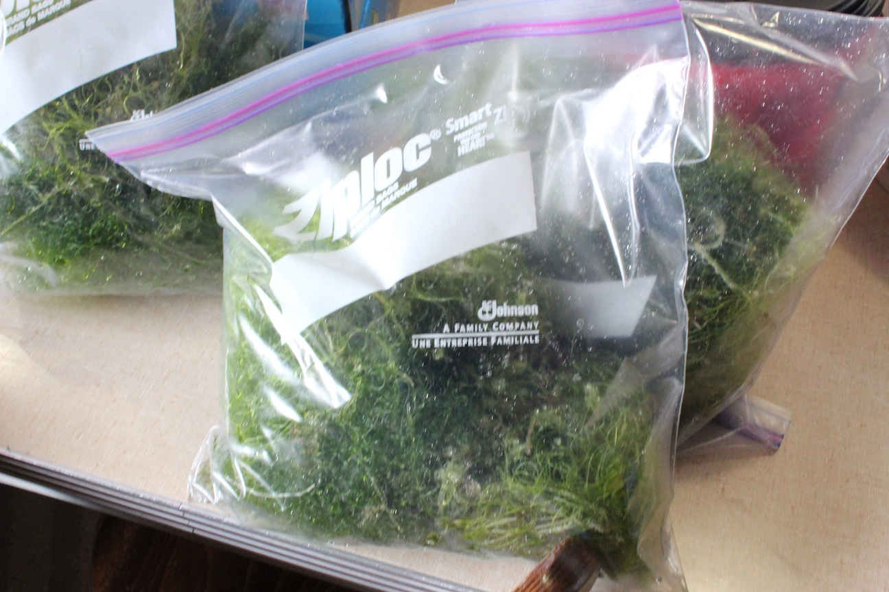 Ziplock Bag Full of Chaetomorpha