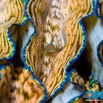 ORA Aquacultured Tridacna Clam