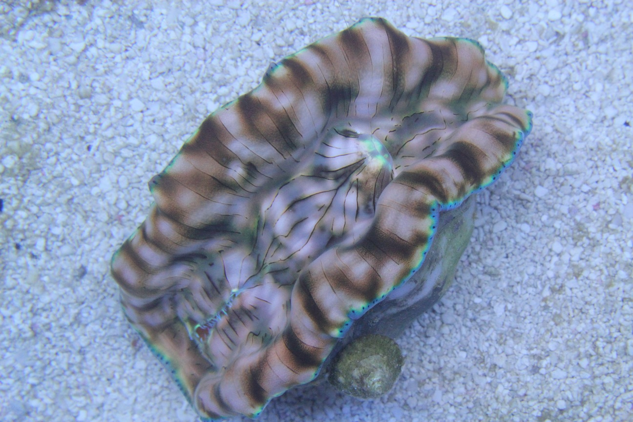 Tridacna derasa Clam