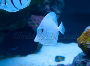World Wide Corals White Tang