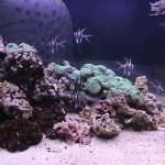 Bangaii Cardinal Reef Tank