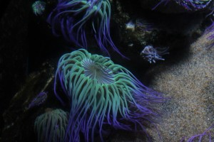 Anemone at London Sea Life Aquarium