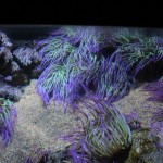 Coldwater Anemones