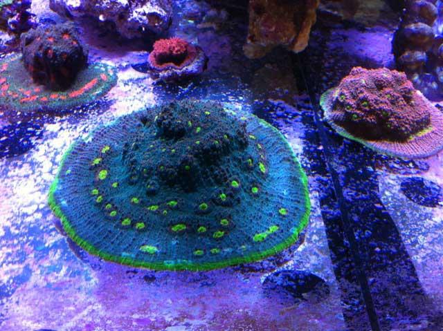 Coral Under Elos 20K Abyss Metal Halide