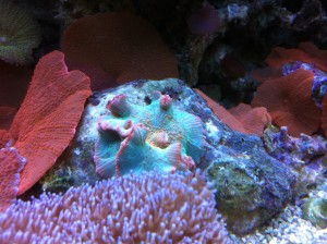 Green and Pink Discosoma Mushroom Coral