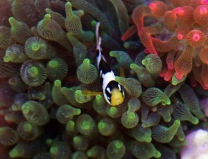 Picasso Clarki Clown in Bubble Tip Anemone