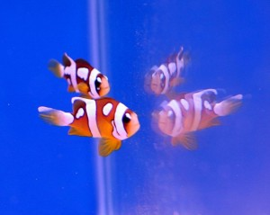 Picasso Clarki Clownfish