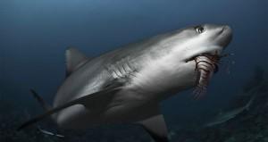Shark Eating Lionfish in Caribbean